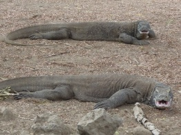 Komodo Island 11